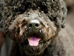 Portuguese Water Dog Non Shedding by Portugese Water Dog Out Of The Shadows U0026 Into The White House
