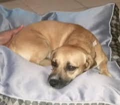 Black Mouth Cur Shed Hunting by Found Pets In Baytown And Surrounding Areas Look For Your