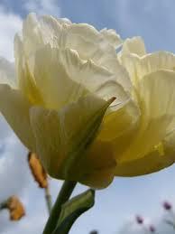 mondial tulip bulbs bulk buy