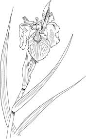 Iris Flower With Yellow Flag Coloring Page