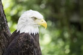 Everything You Think You Know About Bald Eagles Is Wrong
