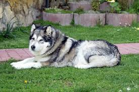 Do Malamutes Shed Hair by Husky Vs Malamute What Are The Differences Mini Husky Lovers