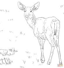 White Tail Deer Coloring Page