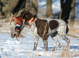 German Shorthaired Pointer Shed Hunter by German Shorthaired Pointer Dog Breed Information Hunting Dogs