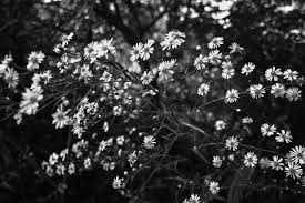 Spring Flowers In Black And White