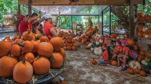 Tucson Pumpkin Patch by Pumpkin Patch Pinto U0027s Farm Miami 29 October