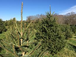 Canaan Fir Christmas Tree Needle Retention by When U0027s The Best Time To Buy Your Christmas Tree