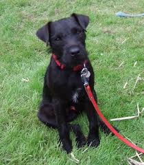 Do Black And Tan Coonhounds Shed by Patterdale Terrier Dog Breed Pictures Information Temperament