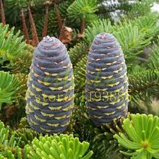 100 Pcs Fir Tree Seeds Japanese Abies Foliage Plants For Garden Bonsai Cold Resistance In From Home On