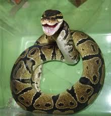 ball python care sheet ball python care sheet