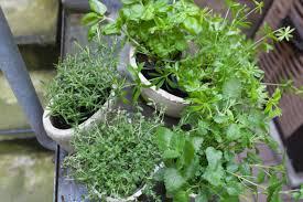 kräuter in der küche wie ihr sie pflanzt pflegt erntet