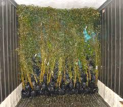 planting bamboo in a pot zhejiang yunfeng bamboo nursery wholesaler specialize in bamboo