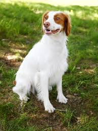 do brittany spaniels shed 100 images best 25 brittany spaniel