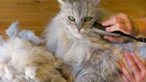 Excessive Hair Shedding In Cats by Useful Anti Matting Cat Hair Cuts Petcarerx