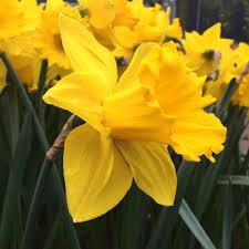 daffodil marieke dutchgrown