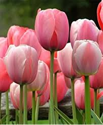 10 mixed colors tulip bulbs freshly imported from