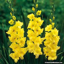 gladiolus bulbs yellowstone american