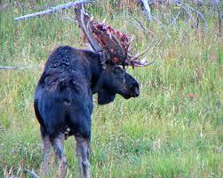 Moose Shed Antler Forums by Shedding Velvet Bull Moose Preparing For The Rut He Had U2026 Flickr