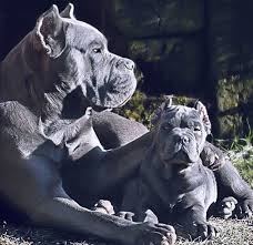 My Cane Corso Shedding A Lot by 23 Best Dogs Images On Pinterest Best Friends Beautiful And
