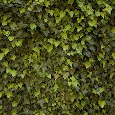 Tiling Ivy Texture By Roseenglish On