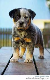 stop blue heeler shedding 14 best want images on dogs aussie puppies and blue