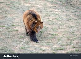 The Grizzly Bear While On California State Flag Has Been Extirpated From