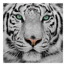 Tiger Face Posters