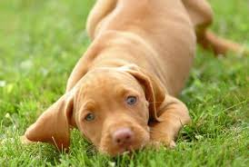 When Do Vizslas Shed Their Puppy Coat by About Dog Vizsla