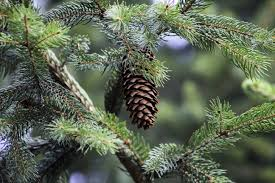 Pine Cone Christmas Tree Decorations by Free Images Nature Forest Branch Produce Evergreen Botany