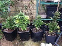 recolte cannabis exterieur date tout sur le cannabis à autofloraison sensi seeds
