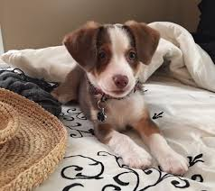 Do Pocket Puggles Shed by Meet Chowder An Australian Shepherd Mix With Beagle Dog Puppy To