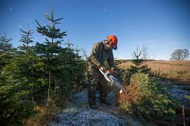 Fraser Fir Christmas Trees Uk by Christmas Tree Farming In Scotland At Edenmill Farm