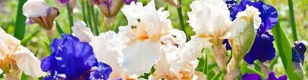 bearded iris iris germanica american