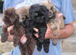 Non Shedding Hypoallergenic Dogs by Gorgeous Shih Tzu Puppies Nonshedding And Hypoallergenic Dogs