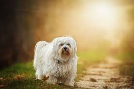 Top 10 Dogs That Dont Shed by Top 15 Cutest Small Dogs That Don U0027t Shed Teacupdogdaily