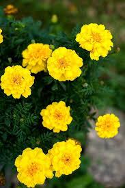 Marigold Safari Yellow