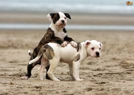 What Dogs Dont Shed Too Much by American Bulldog Dog Breed Information Buying Advice Photos And