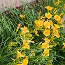 stella d oro daylily popular hemerocallis michigan bulb