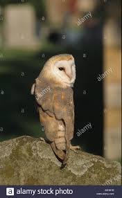 Barn Owl Looking Over Shoulder Perched On Old Fence Post Stock ... Barn Owl Looking Over Shoulder Perched On Old Fence Post Stock Eccles Dinosaur Park Carnivore Carnival The Salt Project Barn Moving Head Side To Slow Motion Video Footage 323 Best Owls Images Pinterest Owls Children And Free Images Wing White Night Animal Wildlife Beak Predator 189 Beautiful Birds Sat A Falconers Glove Photo Royalty Image Paris Owl 150 Pictures Snowy More