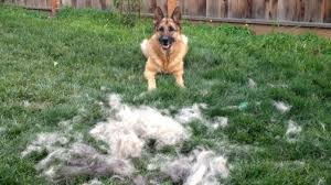 Dog Hair Shedding Blade by How To Brush Your German Shepherd Dog Timelapse Youtube