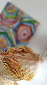 Bearded Dragon Heat Lamp Broke by 328 Best Bearded Dragons Images On Pinterest Bearded Dragon