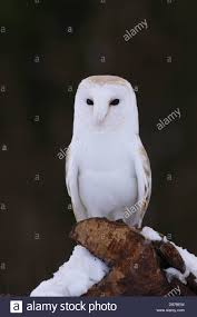 Barn Owl (Tyto Alba) Adult Male, Perched On Post, In Snow, North ... Barn Owl Tyto Alba Onyx On The Left Is A British Male Flickr Fimale 3 6942373687jpg Wikimedia Commons Ruffled Feathers November 2014 Mysterious Wise Barn Owl In Shadows Nocturnal Hunter World Bird Sanctuary January 2013 Owls Ghosts And Noises Night The Trust Lone Pine Koala Owlline Owllinelovers Twitter Audubon Field Guide A Brief Introduction To Common Types Of Barney California Raptor Center Connecticuts Beardsley Zoo