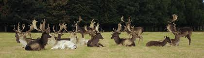 When Do Whitetails Shed Their Antlers by Wild Deer Ireland Fallow