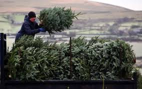 A Christmas Tree Farmer Loads Trees On To His Van In Dartmoor
