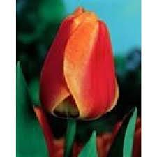 plant tulip apeldoorn elite pack of 10 bulbs bright yellow