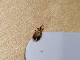 Bug ID help looks like carpet beetle shed skin  Got Bed Bugs