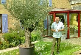 comment cultiver un olivier en terre ou en pot