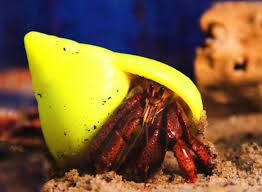 Do Hermit Crabs Shed Their Whole Body by 3d Printed Prefab Shells Provide New Homes For Hermit Crabs