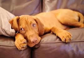 do vizsla dogs shed vizsla puppies for sale akc puppyfinder