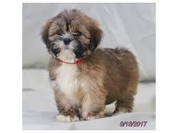 lhasa apso puppy shedding lhasa apso puppies in illinois petland bolingbrook il